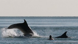 dolphins-april201212
